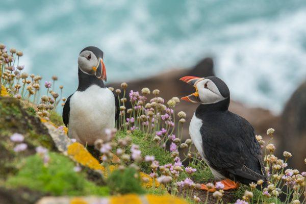 Puffins Skomer Island Pembrokeshire